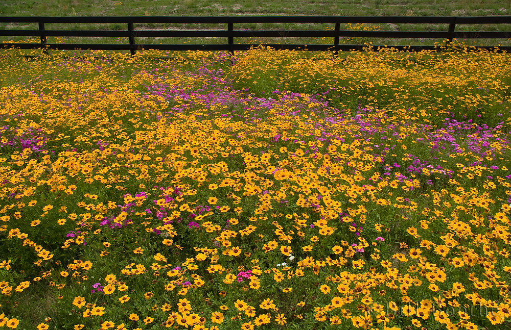 Coreopsis and Phlox