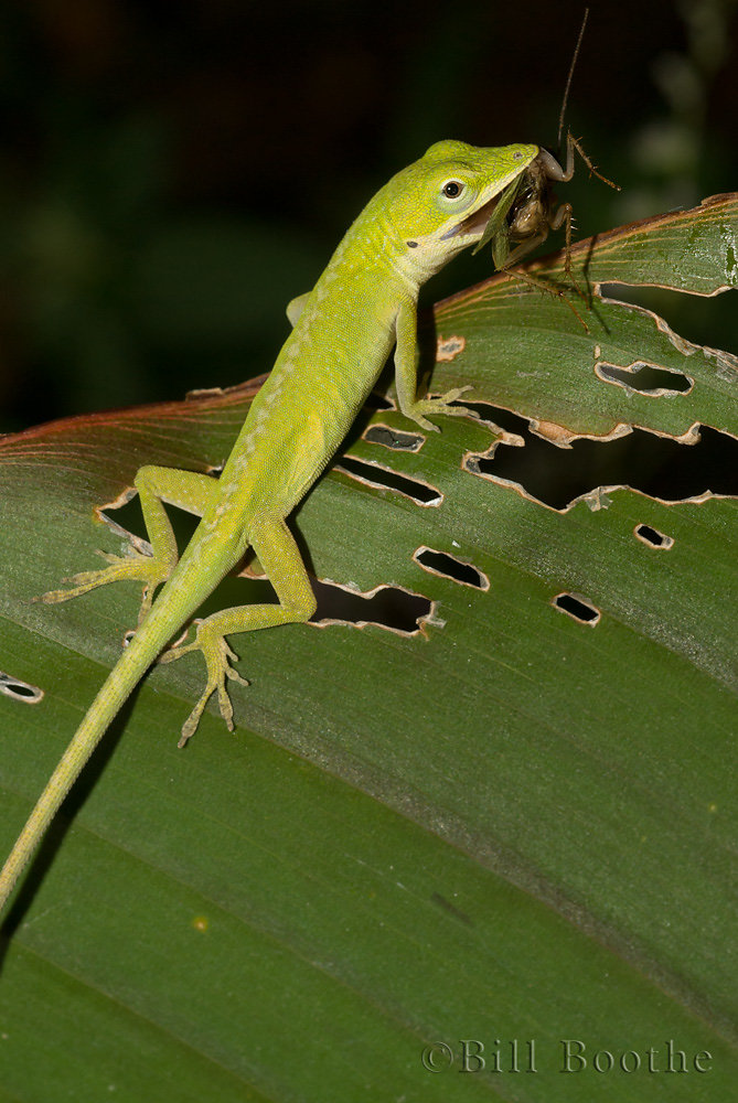 Green Anole with insect