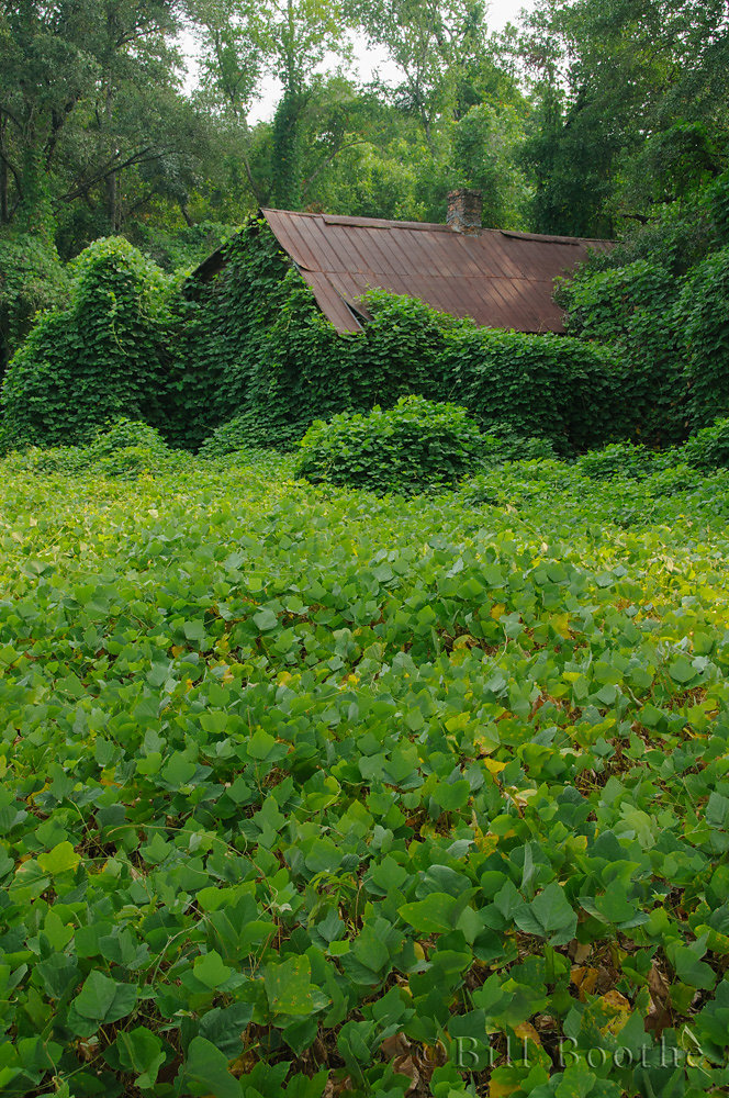 Kudzu overtaking an old house