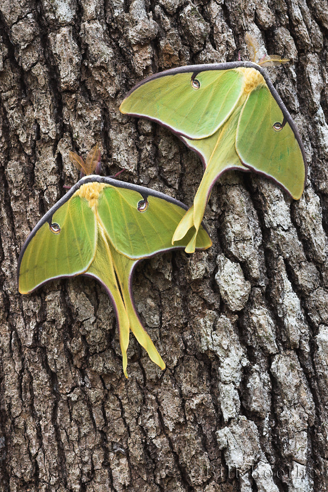 Luna Moths