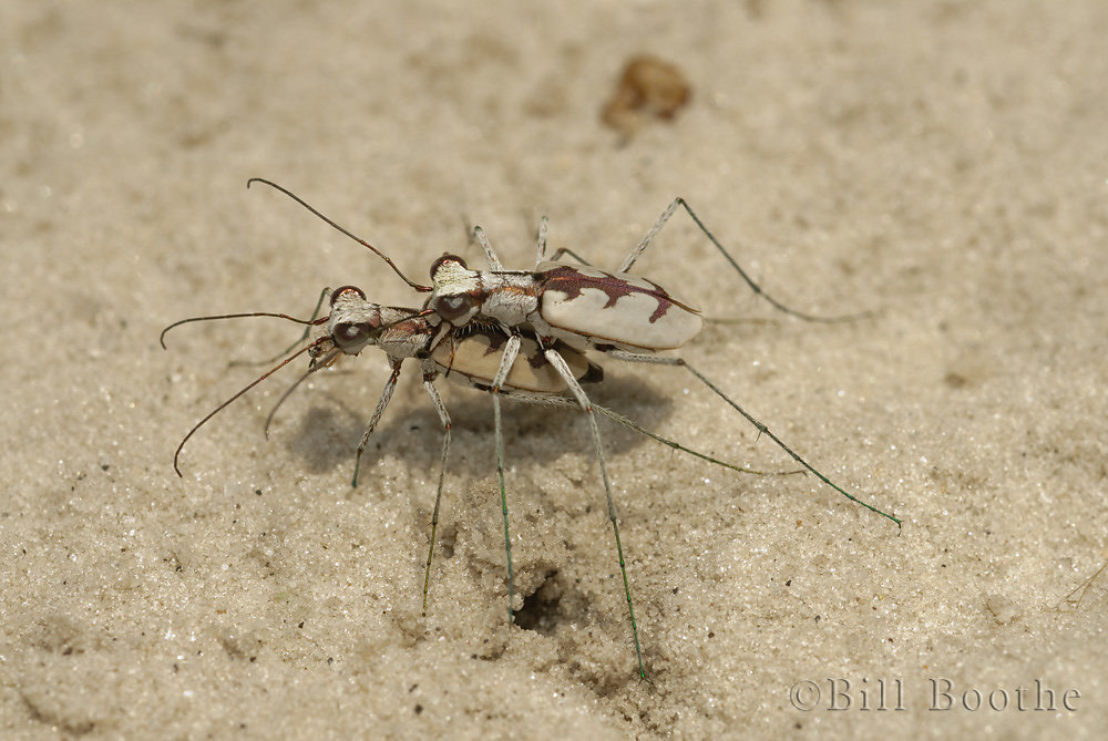 Whitish Tiger Beetle
