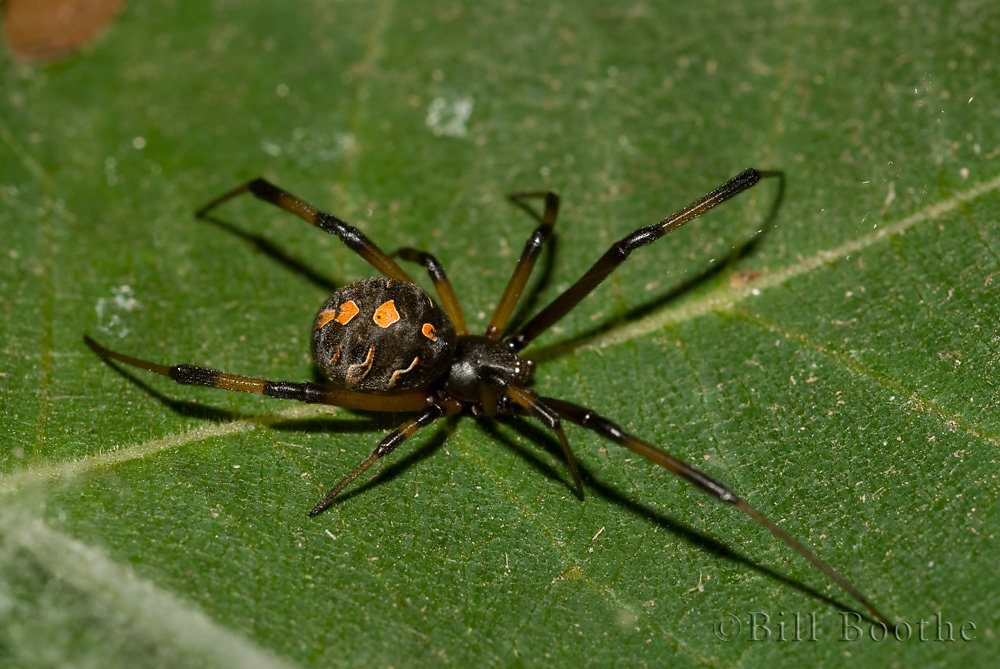 Female Brown Widow Spider