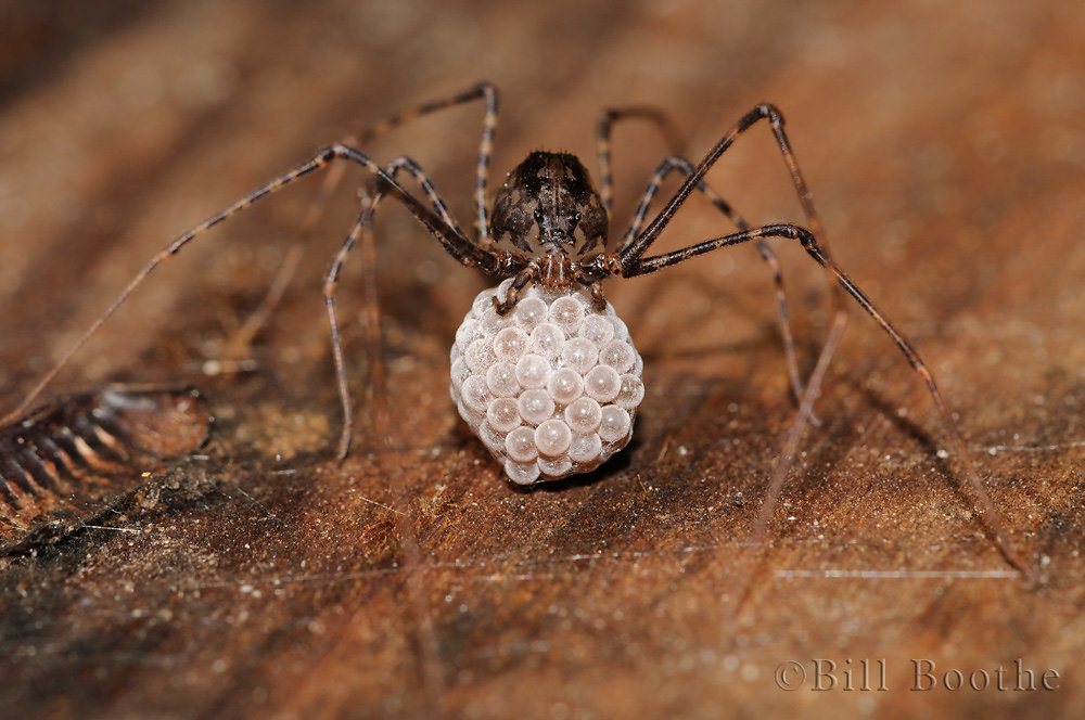 Spitting Spider with Eggs