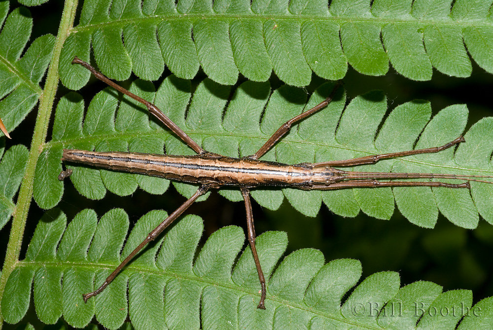 Two-Striped Walkingstick