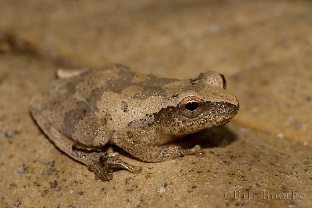 Southern Spring Peeper