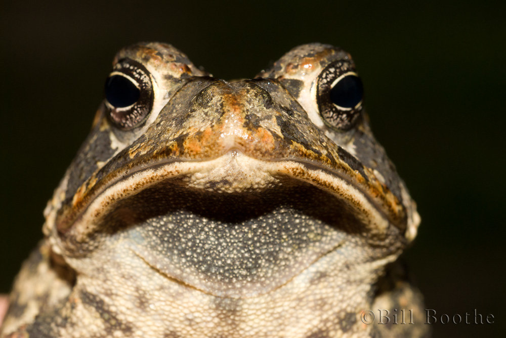 Frowning Toad