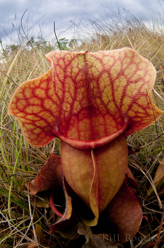 Rosy Pitcherplant