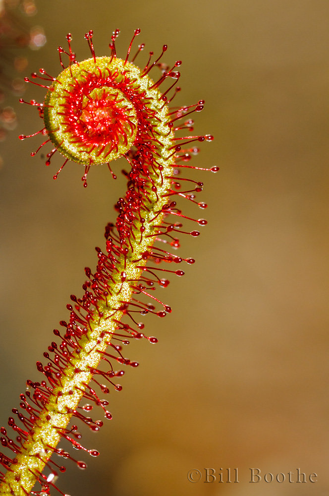 Threadleaf Sundew