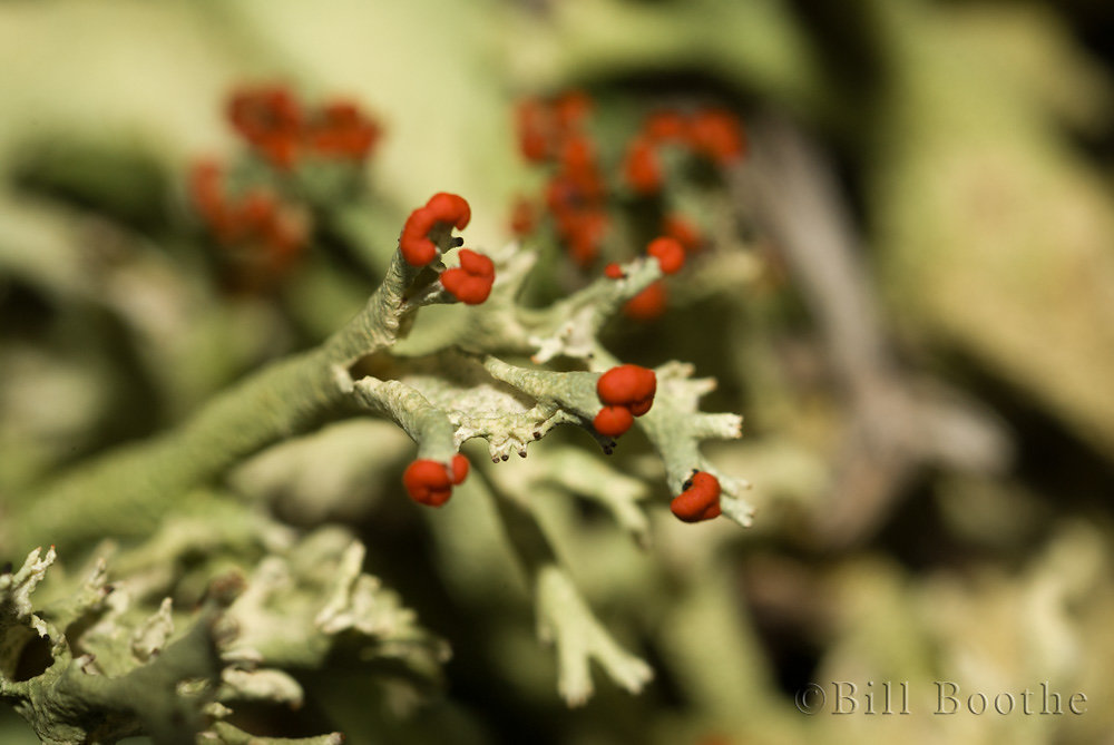 British Soldier Lichen