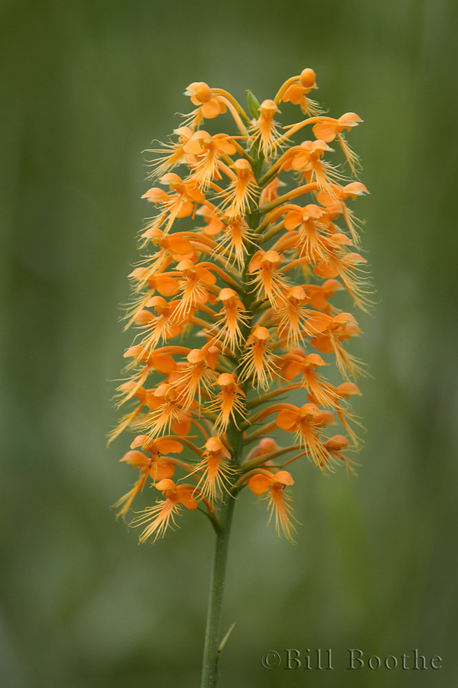 Chapman's Fringed Orchid