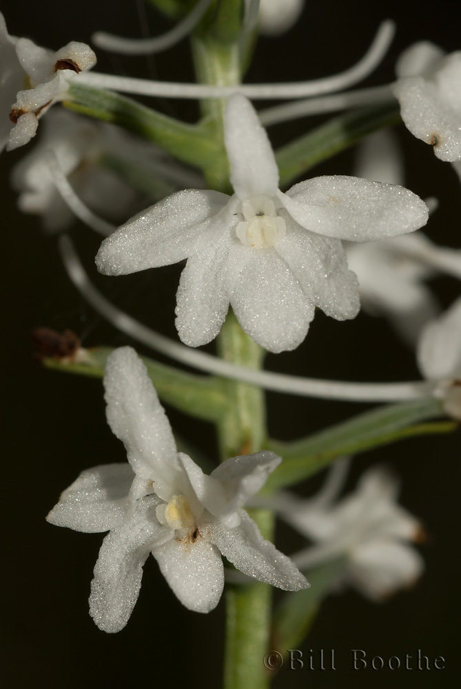 Snowy Orchid
