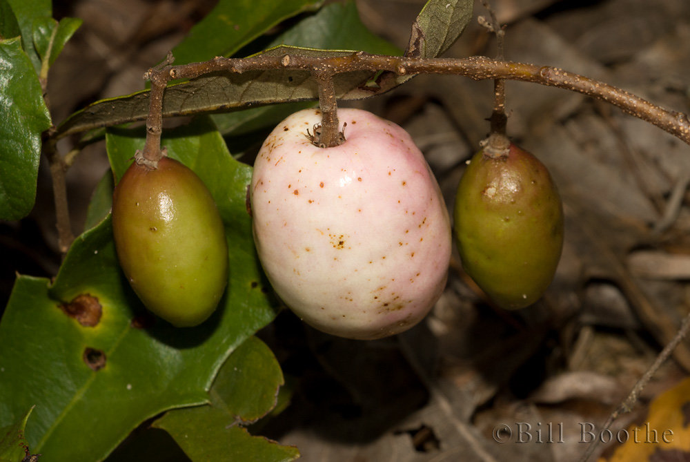 Gopher Apple Fruit
