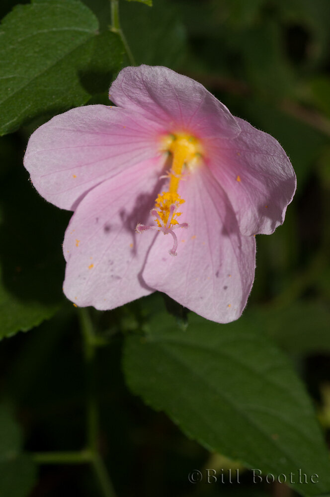 Virginia Saltmarsh Mallow