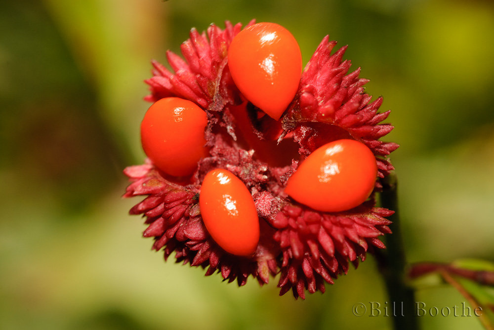 American Strawberrybush Fruit