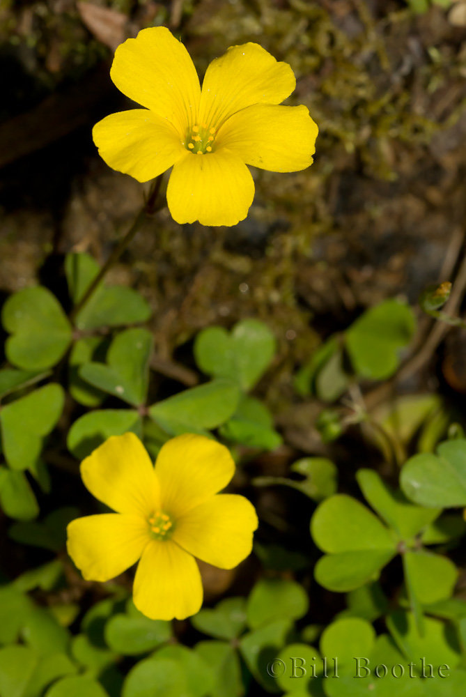 Tufted Yellow Woodsorrel