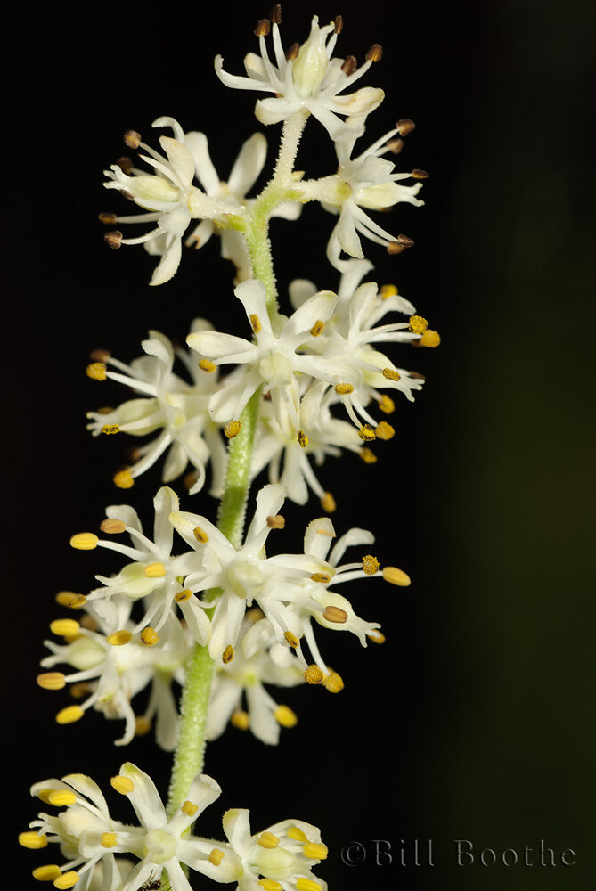 Coastal False Asphodel