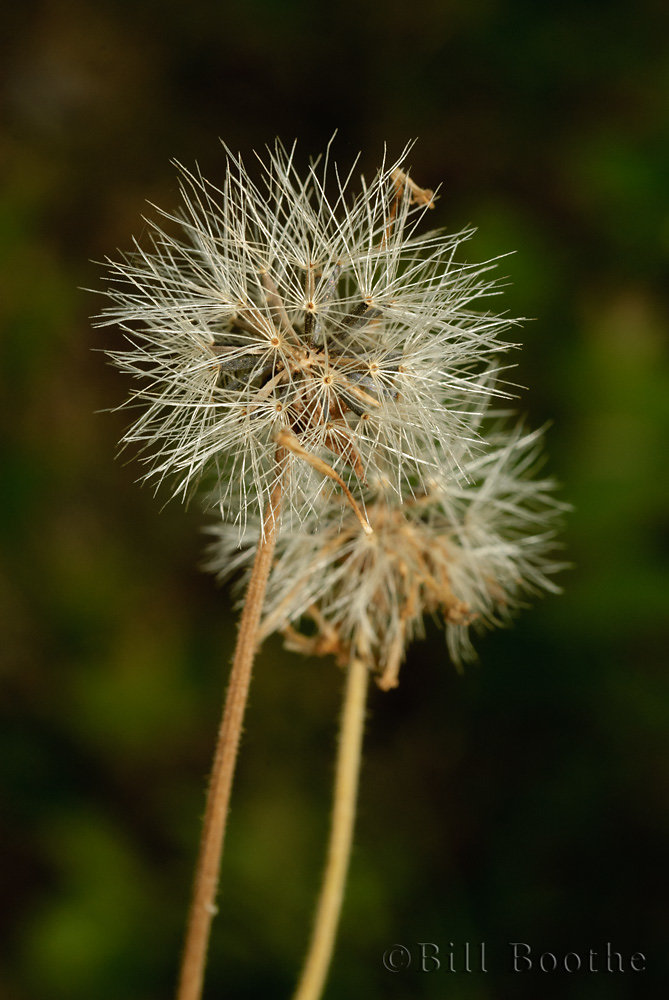 Common Leopardbane Seedheads