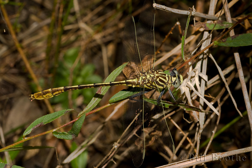 Southeastern Spinyleg Dragonfly