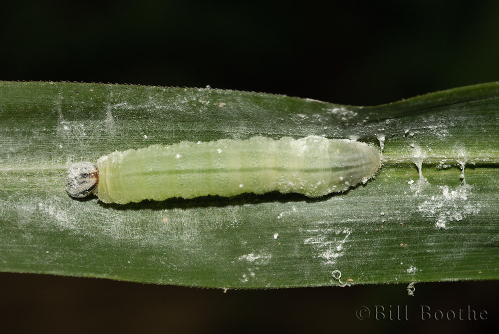 Clouded Skipper Caterpillar