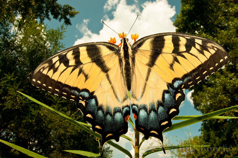 Eastern Tiger Swallowtail on Scarlet Milkweed