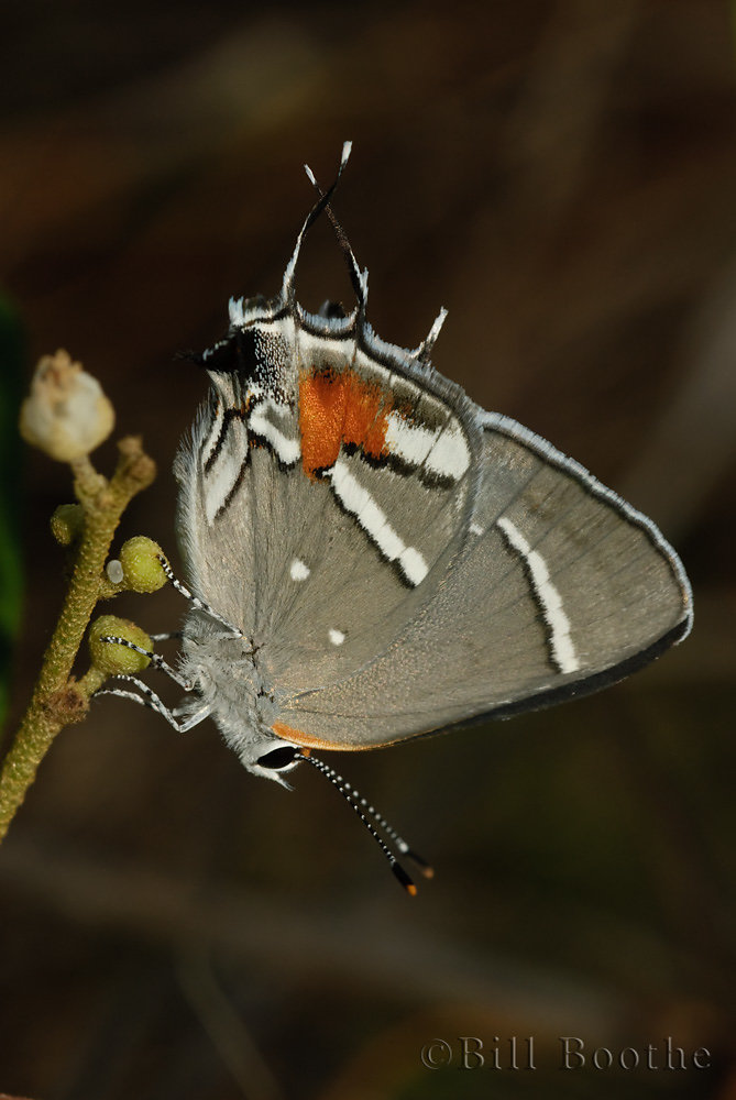 Bartram's Scrub-hairstreak