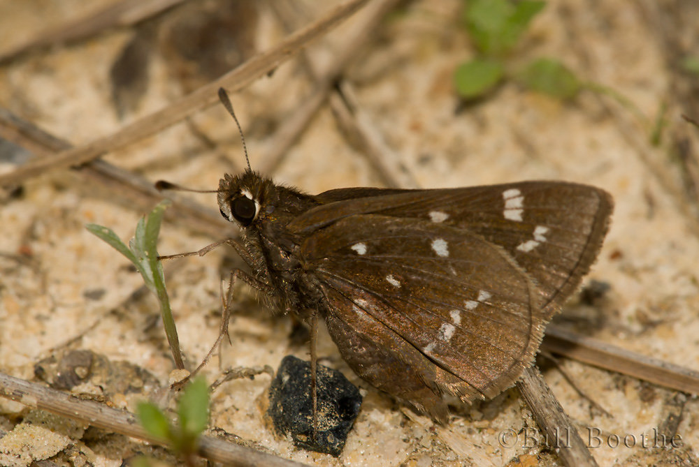 'Florida' Dusted Skipper