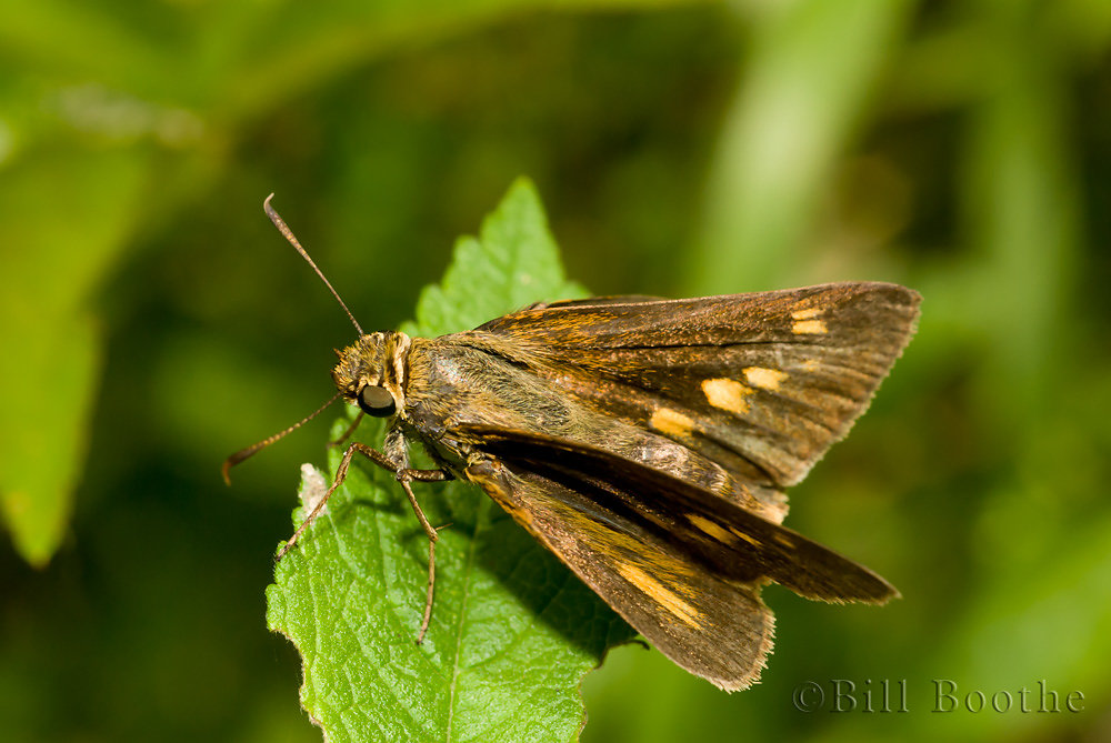 Female Dion Skipper