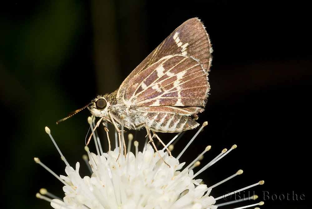 Lace-winged Roadside-skipper