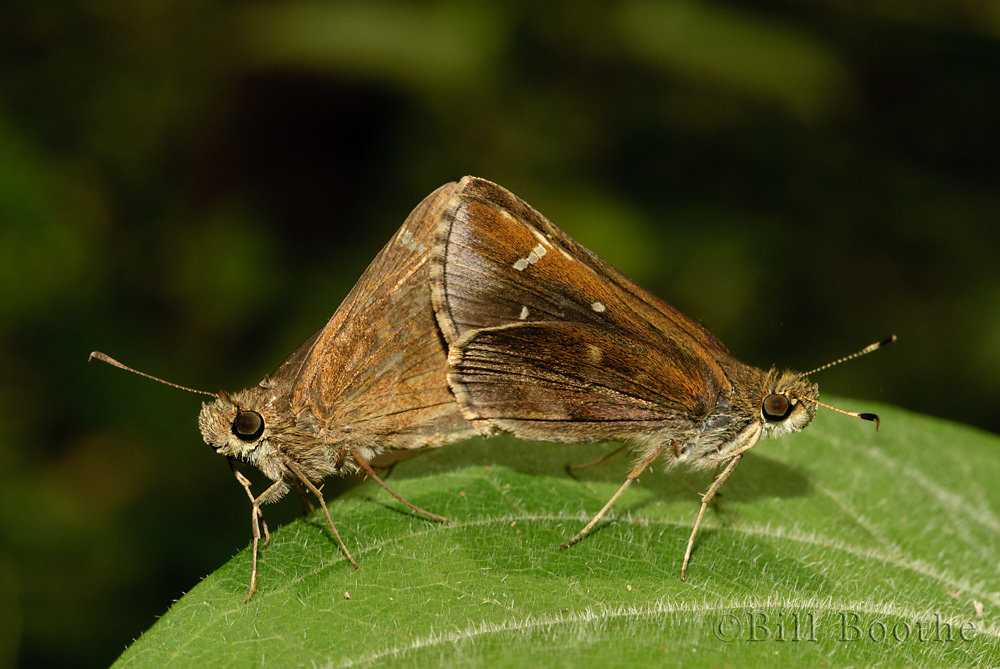 Mating Clouded Skippers