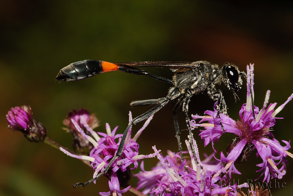 Common Thread-waisted Wasp