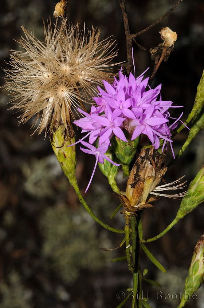 Scrub Blazing Star