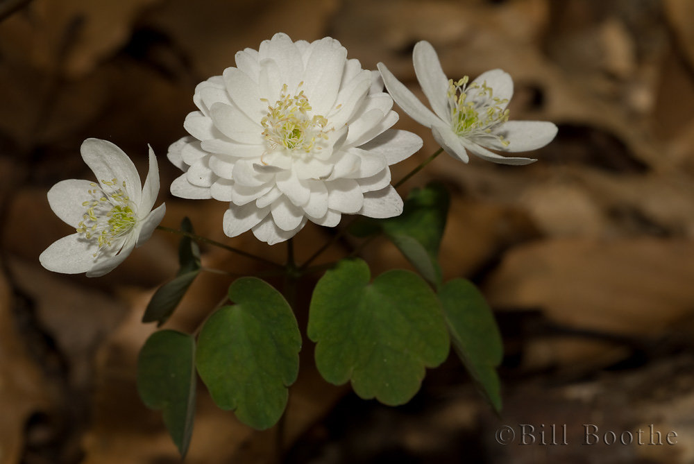 Double-flowered Rue Anemone
