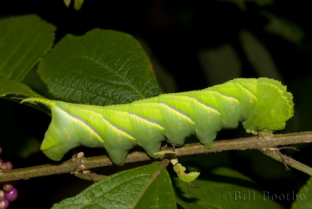 Rustic Sphinx Moth Caterpillar