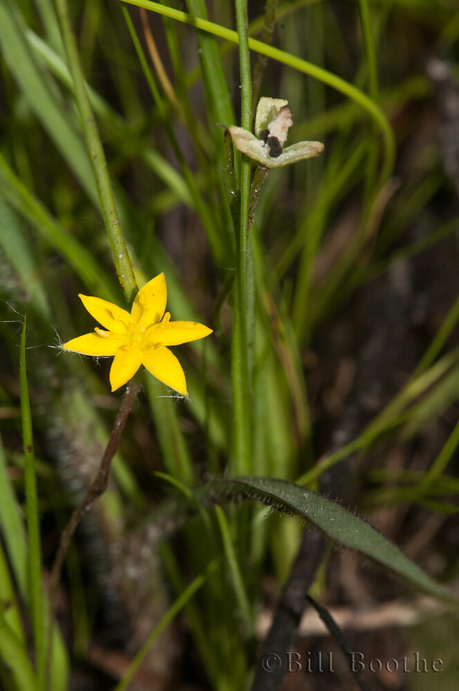 Glossyseed Yellow Stargrass