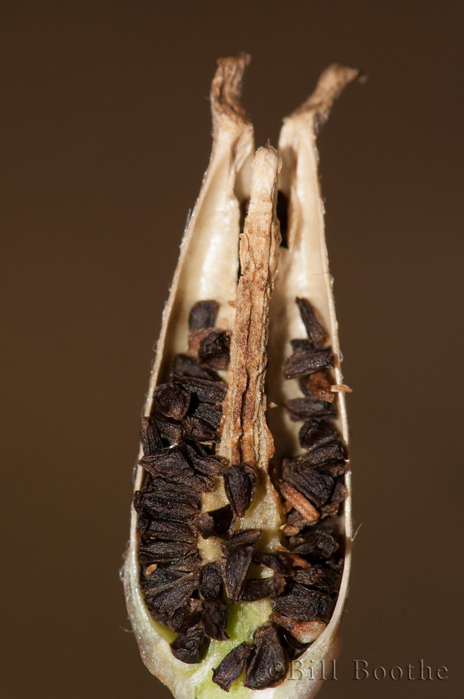 Common Primrosewillow Seeds