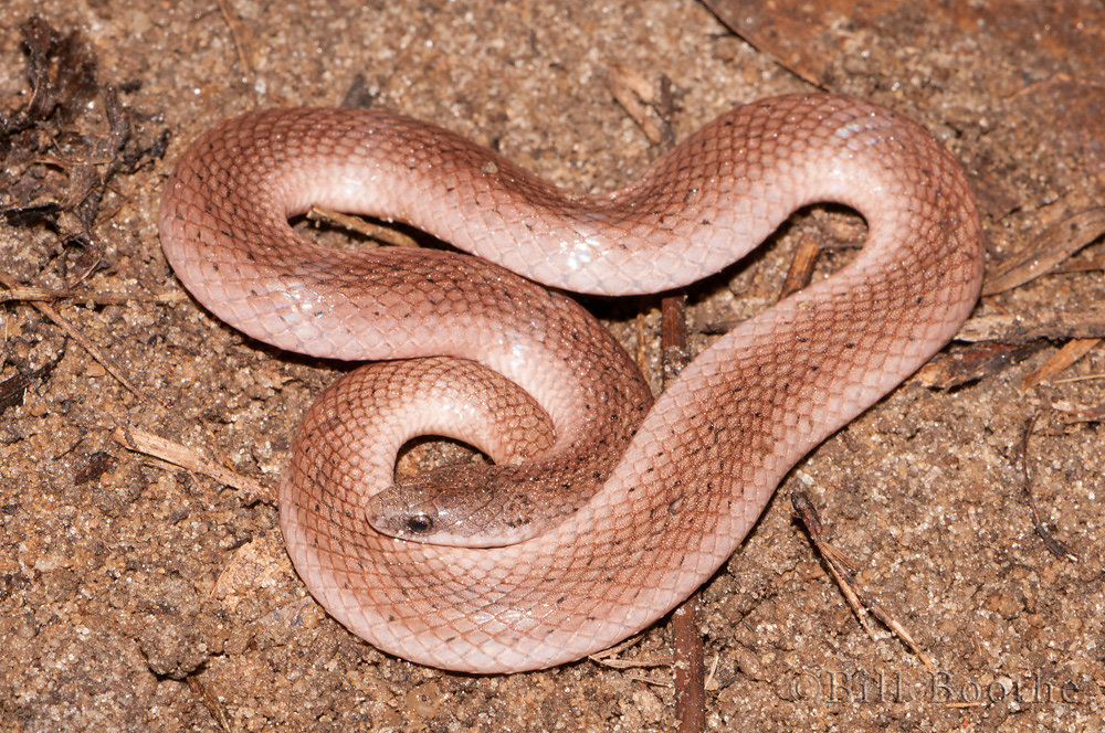 Eastern Smooth Earth Snake