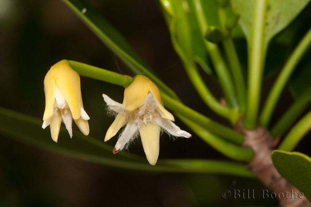 Red Mangrove Flowers